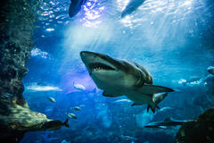 Closeup of scary big tiger shark swimming with other fishes. Closeup of one scary big tiger shark swimming with other fishes in sunlight ocean waters stock photo