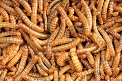 Closeup of a scatter of living mealworm Stock Images