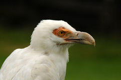 closeup of a scavenger eagle Royalty Free Stock Images