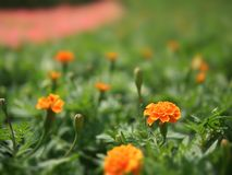 The fresh orange marigold flowers stock photos