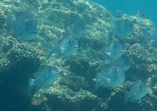 School of Humpnose big-eye bream Monotaxis grandoculis swimming over coral reef of Bali, Indonesia. Closeup of a school of Humpnose big-eye bream Monotaxis Stock Photos