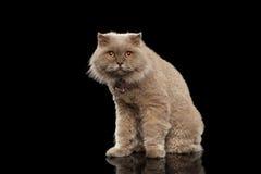 Closeup Scottish Cat Curiosity Looking on Black Stock Image