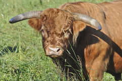 Closeup of a Scottish Highland Cattle Royalty Free Stock Photo
