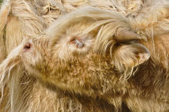 Closeup of a Scottish Highland Cattle Stock Images