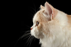 Closeup Scottish Highland Straight Bicolor Cat, Profile view Black  Isolated Royalty Free Stock Photography