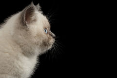 Closeup Scottish Straight Colorpoint Kitten in Profile view, Black Isolated Royalty Free Stock Images
