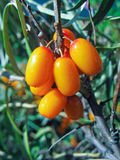 Closeup of sea-buckthorn on a twig stock image
