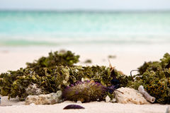 Closeup of sea weed, shells and sea urchin at white sand beach and stripe of blue sea water Stock Photos