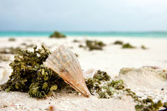 Closeup of sea weed, shells and sea urchin at white sand beach and stripe of blue sea water Royalty Free Stock Images