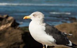 Closeup of a seagull Stock Photo