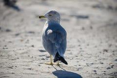 Closeup seagull. At beach looking into camera royalty free stock photo