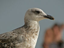 Closeup of seagull. Closeup of seagull on the beaches of southern Spain Royalty Free Stock Images