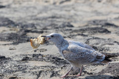 Closeup of a seagull with a big piece of bread in its beak Stock Image