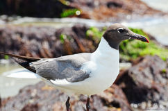 Closeup of Seagull Blurred Rock Bokeh Background Stock Images