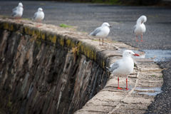 Closeup of a seagull with blurred seagulls in the background.  stock photography