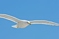 Closeup of a seagull flying over Aegean sea near mountain Athos stock photo