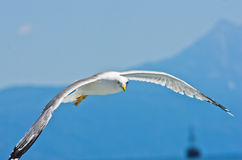 Closeup of a seagull flying over Aegean sea near mountain Athos Royalty Free Stock Photo