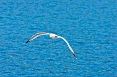 Closeup of a seagull flying over Aegean sea near mountain Athos Stock Photos