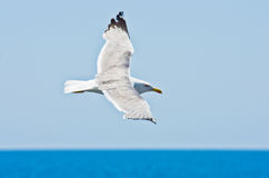 Closeup of a seagull flying over Aegean sea near mountain Athos stock photos