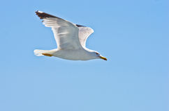 Closeup of a seagull flying over Aegean sea near mountain Athos royalty free stock images