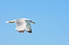 Closeup of a seagull flying over Aegean sea near mountain Athos stock photography