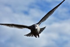 A closeup of Seagull flying in the sky. 