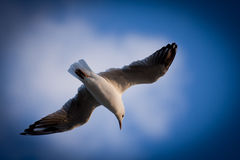 Closeup of Seagull flying with spreaded wings.  stock image