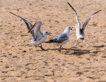Seagulls Fighting royalty free stock images