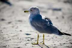 Closeup seagull 2. Seagull standing in the sandy by the ocean looking at the camera Stock Photo