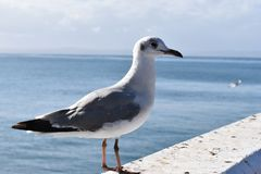Closeup of a seagull in Mossel Bay, South Africa. Closeup of a seagull standing on a stone wall in Mossel Bay, South Africa Stock Image
