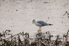 A closeup of a seagull looking into the water for food stock photography