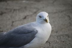 Closeup of a seagull on a stone pier Royalty Free Stock Photography