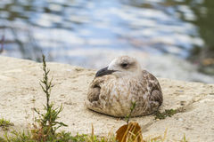 Closeup of a seagull Royalty Free Stock Image