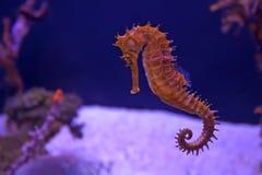 Closeup seahorse in aquarium. Closeup seahorse swimming in colorful coral reef Royalty Free Stock Image