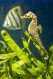 Seahorse on a background of algae Stock Image
