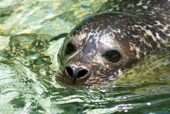 Closeup of a seal. Closeup picture of the face of a swimming seal Stock Photo