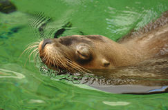 Sealion. A closeup of a sealion swimming with it's eyes closed Royalty Free Stock Photography