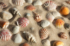 Closeup seashells sticking out of the sand in the sunlight Stock Photos