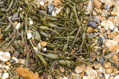 Closeup of seaweed Ascophyllum nodosum, commonly egg wrack. Stock Image