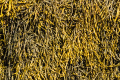 Closeup of seaweed Ascophyllum nodosum, commonly egg wrack. Egg Wrack Ascophyllum nodosum is a seaweed found on middle of the shore in the United Kingdom Royalty Free Stock Images