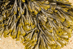 Closeup of seaweed Fucus serratus commonly toothed wrack. Stock Photos