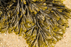 Closeup of seaweed Fucus serratus commonly toothed wrack. Royalty Free Stock Photo