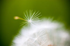 Closeup of the seeds of the dandelion flower Royalty Free Stock Photo