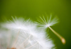 Closeup of the seeds of the dandelion flower Royalty Free Stock Photography