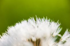 Closeup of the seeds of the dandelion flower with the drops of d Stock Image