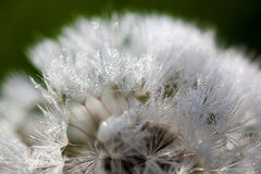 Closeup of the seeds of the dandelion flower with the drops of d Royalty Free Stock Photos