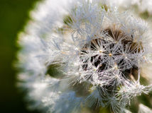 Closeup of the seeds of the dandelion flower with the drops of d Stock Photography