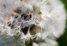Closeup of the seeds of the dandelion flower with the drops of d Stock Photos