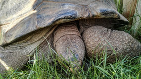 Closeup seeing detail and texture of big old turtle eating grass Royalty Free Stock Photography