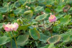 Closeup selective focus on blossom pink lotus with blurred green leaves in background royalty free stock photography